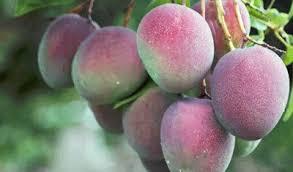 Manfaat Mangga Apel Untuk Kesehatan Tubuh